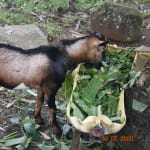 The Water Project: Bukhanga Community, Indangasi Spring -  Josephines Farm Animals Depend On Indangasi For Water