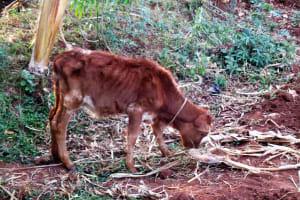The Water Project: Kidinye Community, Wamwaka Spring -  Cow