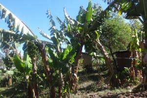 The Water Project: Shitungu Community, Suleiman Spring -  Banana Farm