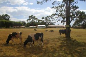 The Water Project: Kapchemoywo Girls Secondary School -  School Cattle