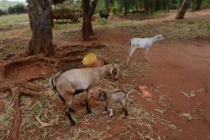 The Water Project: Katitu Community -  Goats