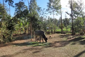 The Water Project: Lutari Community -  Cow