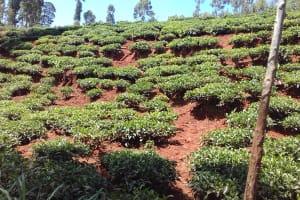 The Water Project: Wanzuma Community, Wanzuma Spring -  Tea Plantation