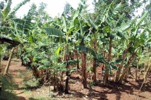 The Water Project: Igogwa Community -  Banana Plantation