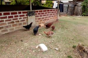 The Water Project: Bukhakunga Community, Indiatsi Omukitsa Spring -  Hens Pecking