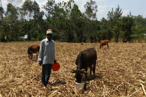 The Water Project: Handidi Community, Kadasia Spring -  Man Gives His Cattle A Drink