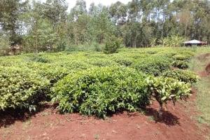 The Water Project: Igogwa Community -  Tea