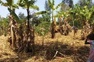 The Water Project: Handidi Community, Kadasia Spring -  Banana Plantation