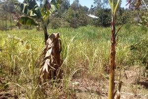 The Water Project: Handidi Community, Malezi Spring -  Sugarcane