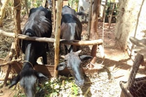 The Water Project: Igogwa Community -  Cows