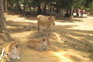 The Water Project: Mayaya Village A -  Roaming Animals