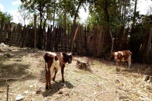 The Water Project: Bukhakunga Community, Indiatsi Omukitsa Spring -  Cattle Grazing