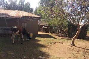 The Water Project: Futsi Fuvili Community, Futsi Fuvili Spring -  Cow
