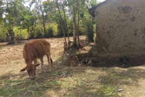 The Water Project: Elukho Community -  Grazing Cow