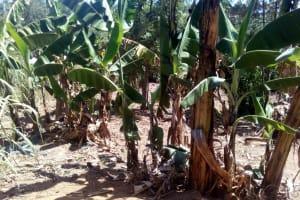 The Water Project: Handidi Community, Matunda Spring -  Banana Plantation