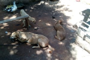 The Water Project: Elunyu Community, Saina Spring -  Dogs