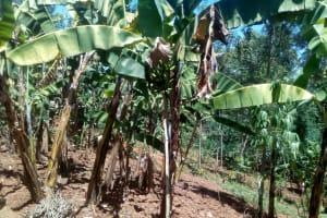 The Water Project: Elunyu Community, Saina Spring -  Banana Plantation
