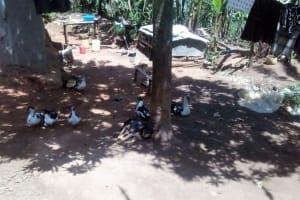The Water Project: Elunyu Community, Saina Spring -  Ducks