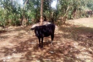 The Water Project: Lutali Community, Lukoye Spring -  Grazing Cow