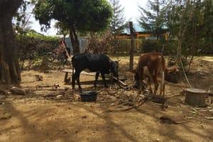 The Water Project: Shikhambi Community, Daniel Inganga Spring -  Animals Grazing