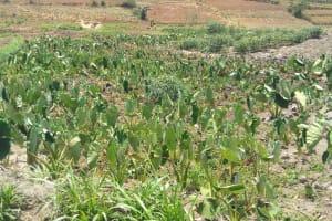 The Water Project: Mukhuyu Community, Shikhanga Spring -  Arrowroot Plantation