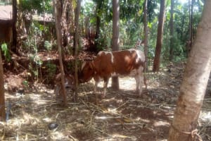 The Water Project: Lutonyi Community, Shihachi Spring -  Cow Grazing With Calf