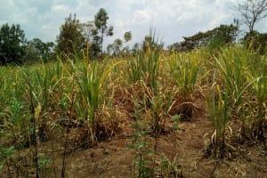 The Water Project: Mukhuyu Community, Shikhanga Spring -  Sugarcane Plantation