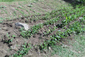 The Water Project: Shiyunzu Primary School -  Health Club Garden
