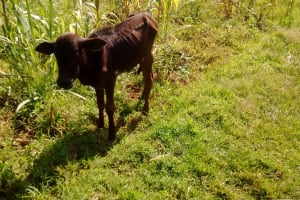 The Water Project: Ematiha Community, Ayubu Spring -  Calf Grazing By The Spring