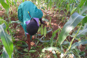 The Water Project: Chandolo Primary School -  Student Picks Maize In School Farm