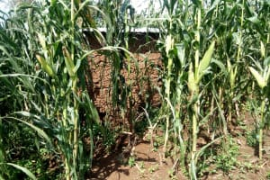 The Water Project: Shivagala Community, Paul Chengoli Spring -  Latrine In Maize Plantation