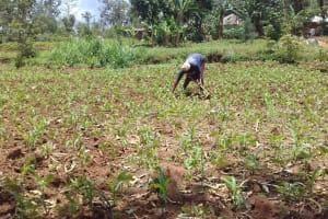 The Water Project: Irungu Community, Irungu Spring -  Mrs Minayo Weeding Her Farm