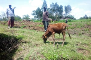 The Water Project: Musango Community, Ham Mwenje Spring -  Grazing Cattle By Spring
