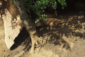 The Water Project: Bukhunyilu Community, Solomon Wangula Spring -  Pig