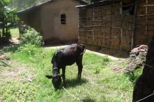 The Water Project: Shitungu Community, Omar Rashid Spring -  Cow Grazing