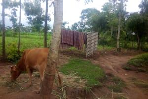 The Water Project: Mwituwa Community, Shikunyi Spring -  Cow And Clothesline