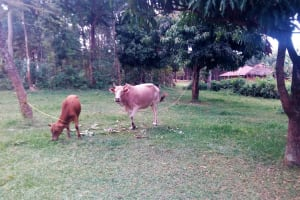 The Water Project: Maganyi Community, Bebei Spring -  Grazing Animals