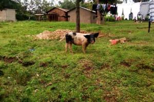 The Water Project: Ejinja Community, Anekha Spring -  Pig