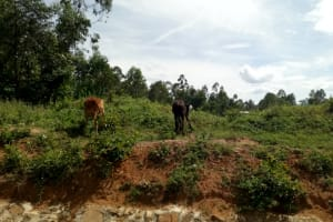The Water Project: Musango Community, M'muse Spring -  Cattle Grazing
