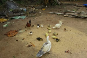 The Water Project: Sanya Community -  Chickens