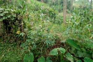 The Water Project: Musango Community, M'muse Spring -  Maize