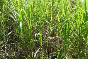 The Water Project: Elukuto Community, Isa Spring -  Sugarcane