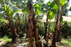 The Water Project: Elukani Community, Ongari Spring -  Banana Trees