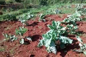 The Water Project: Ulagai Community, Rose Obare Spring -  Kitchen Garden