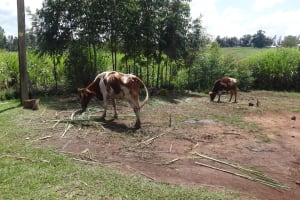 The Water Project: Elukuto Community, Isa Spring -  Cattle