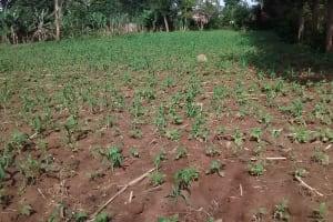 The Water Project: Ivulugulu Community, Ishangwela Spring -  Maize Plantation