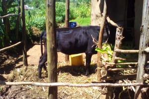 The Water Project: Lwangele Community, Machayo Spring -  Livestock