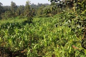 The Water Project: Chebwayi B Community, Wambutsi Spring -  Community Farm