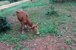 The Water Project: Jivovoli Community, Wamunala Spring -  Cow Grazing On The Path To The Spring