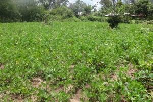 The Water Project: Masera Community, Salim Hassan Spring -  Ground Nut Farm